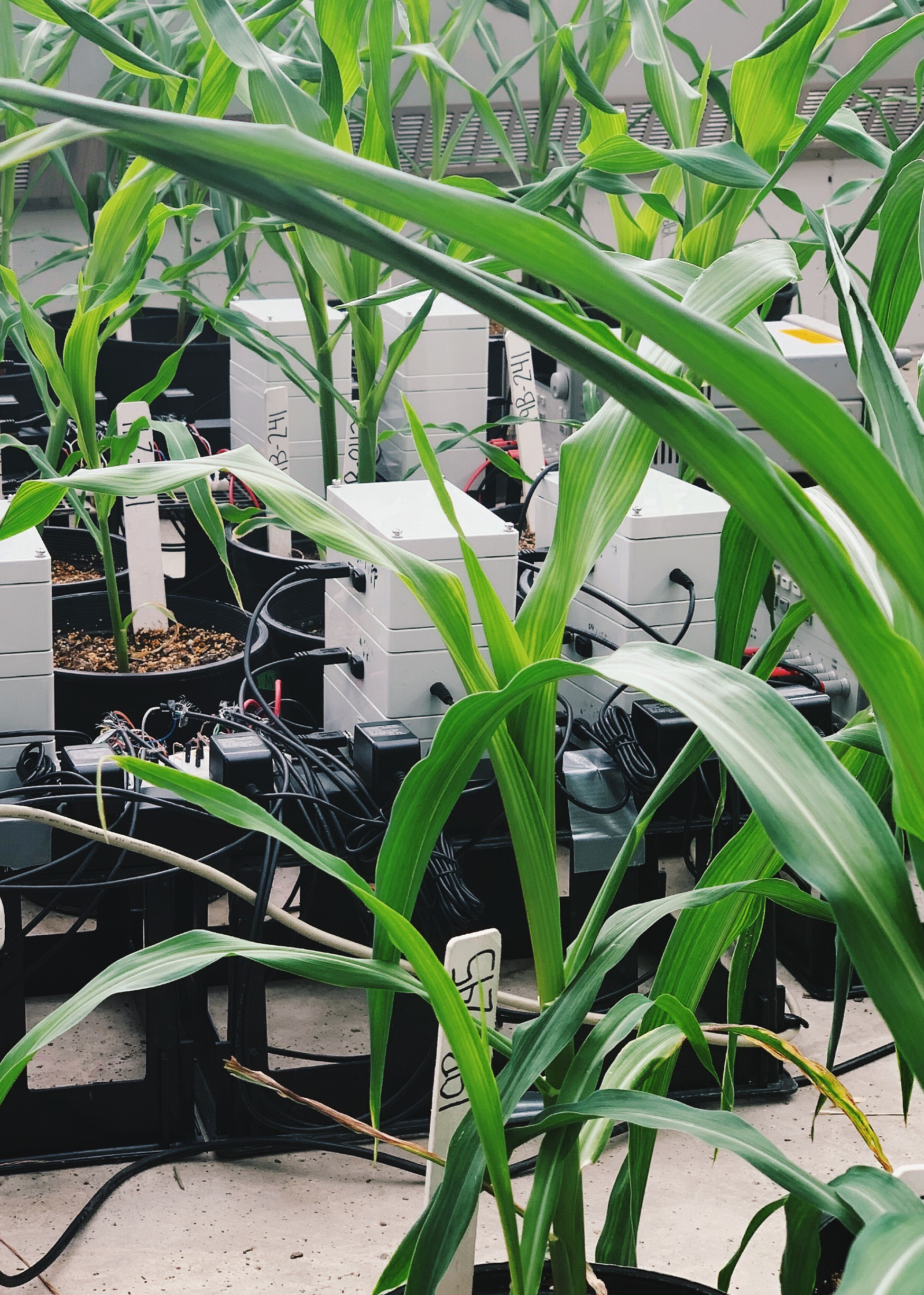 Image of corn connected to electronic sensors at Iowa State's Plant Sciences Institute.