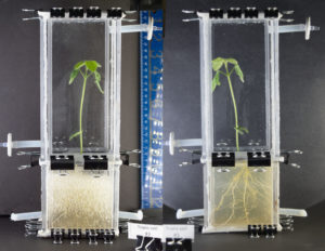 Transparent soil in lab setting