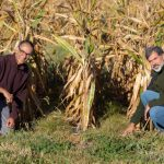 New grant led by ABE researcher breaks new ground with perennial cover crops